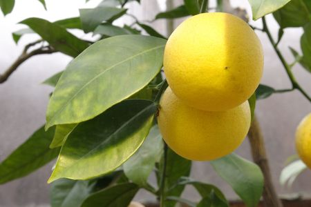 citrous: Lemon branch with leaves and two fruits