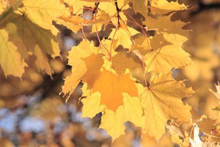Otoñales rama de arce-árbol con hojas amarillas  Foto de archivo - 909477