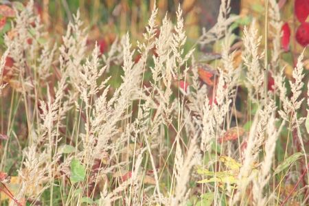 gramineous: Dry grass panicles against autumnal herbs, organic background