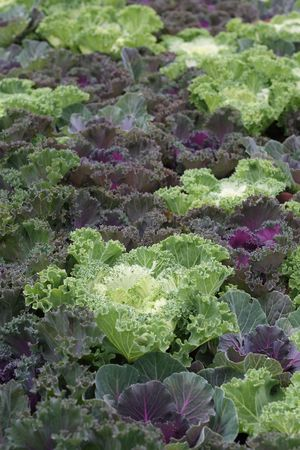 Bed of ornamental cabbage, or kale, focus on white leaves Stock Photo