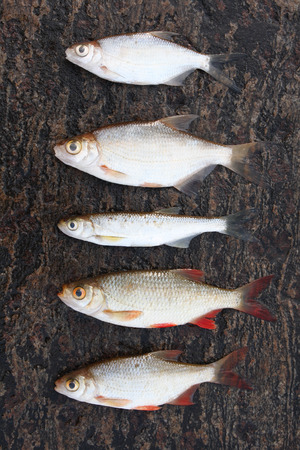 Five small freshwater fishes lying on stone in a row Stock Photo