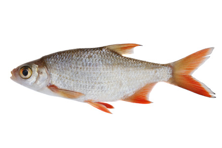Small freshwater fish, isolated on white Stock Photo - 1536061