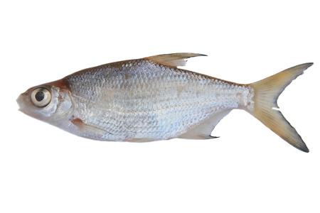 sportfishing: Small freshwater fish, isolated on white Stock Photo