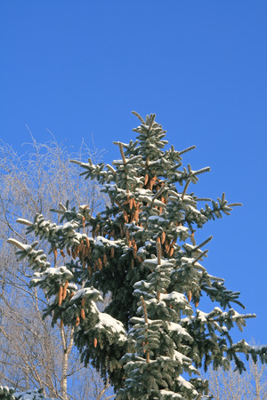 Spruce tree covered with snow, with birch at the background, against blue sky Stock Photo - 1639257