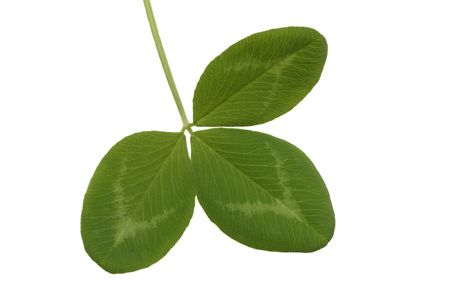 Leaf of red clover, isolated on white background