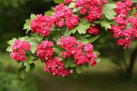 Branch of flowering hawthorn, cultivated double-flowered variety
