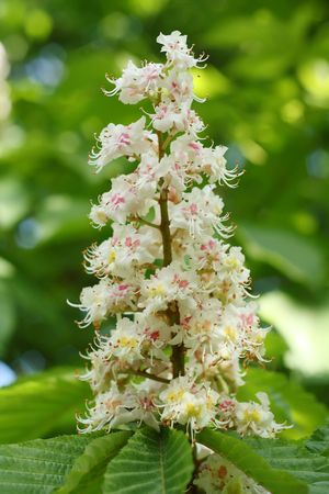 Inflorescence of horse chestnut