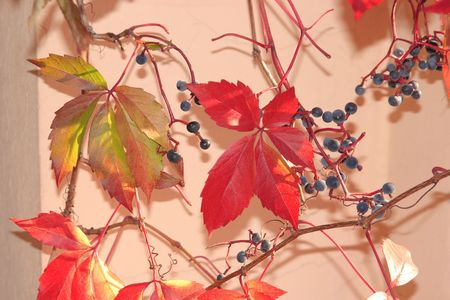 Red leaves and fruits of Virginia creeper  photo