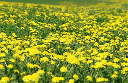 Photo of a beautiful dandelion meadow in the summer.  Taken on location in Terre Hill, Pennsylvania, USA.  Narrow DOF.