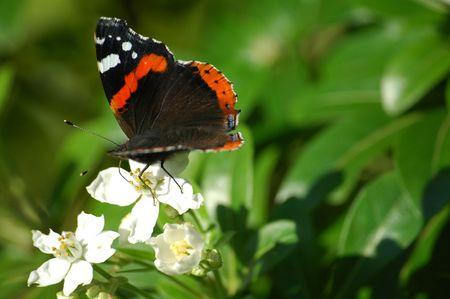 vanessa: Red Admiral Butterfly - vanessa atalanta