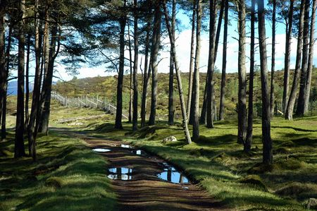scots: Scots Pine Forest Reflections and Shadows