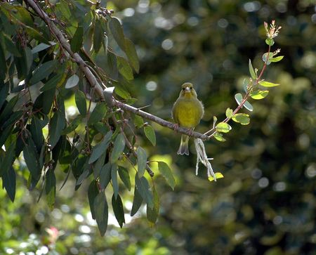 greenfinch: Greenfinch, Carduelis chloris, perching on Eucalyptus Tree
