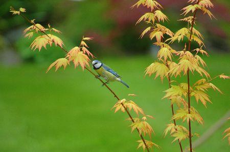 caeruleus: Blue Tit, Cyanistes caeruleus, perching en Acer