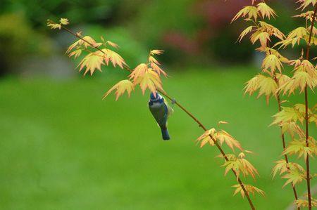 caeruleus: Blue Tit, Cyanistes caeruleus ,  hanging on Acer