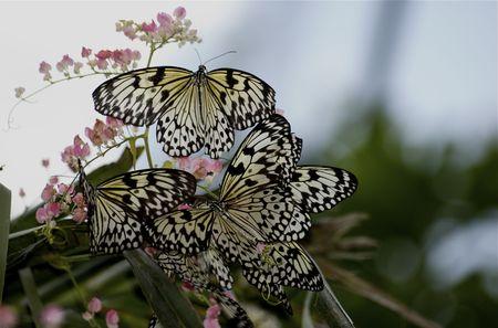 madera ninfa Singapur mariposas en movimiento, la selva, el cielo, flores de color rosa, Foto de archivo - 4326654
