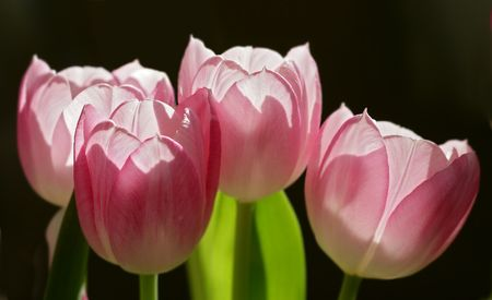 Red, soft tulips photo