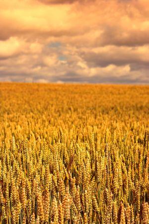 reaping: Corn fields in Denmark
