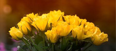 Yellow roses photo