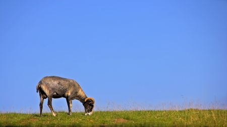 grassy knoll: Goat on a hill