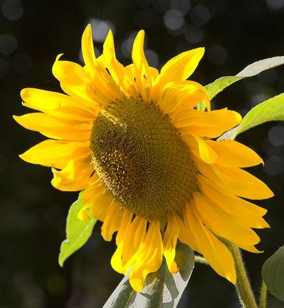 Sunflower (sharp) photo