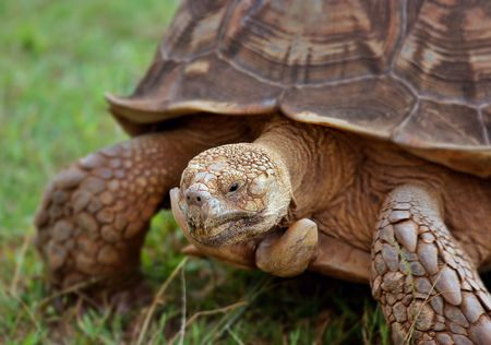 ancient turtles: Huge turtle