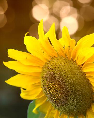 Sunfler close-up photo