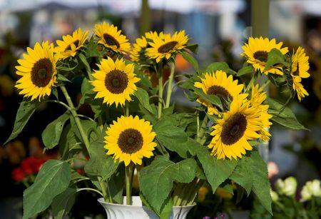 Sun flower family photo