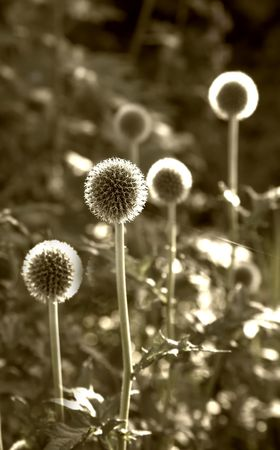Danish Ball flowers photo