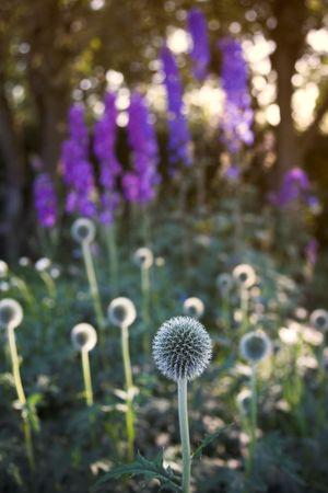 Danish Ball flowers Stock Photo - 650671