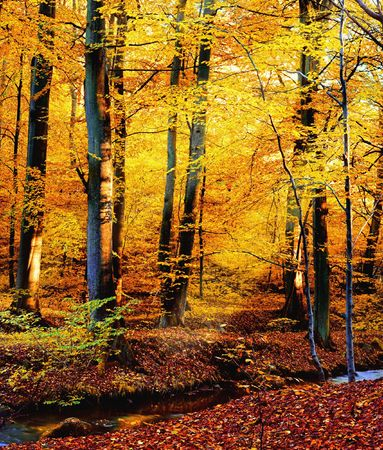 birchwood: Autumn colors Stock Photo