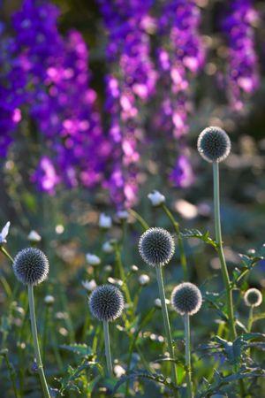 Danish Ball flowers Stock Photo - 666623