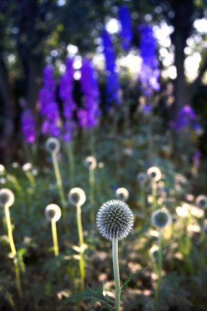 Danish Ball flowers Stock Photo - 666628
