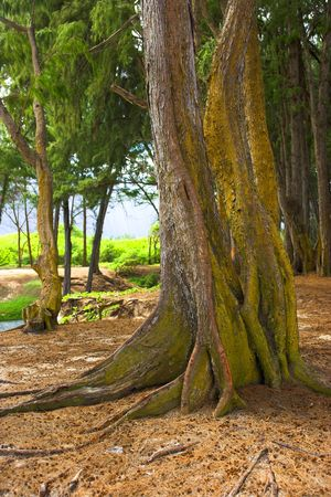 Old tree at Bellows Beach, Hawaii photo