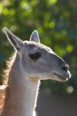 the lama: LAMA