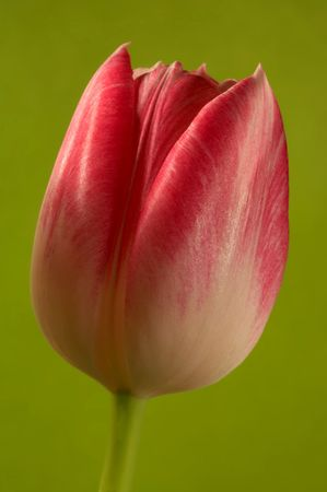 Red, soft tulips Stock Photo - 740390