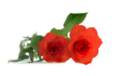 A photo of the Red Rose Stock Photo - 750774