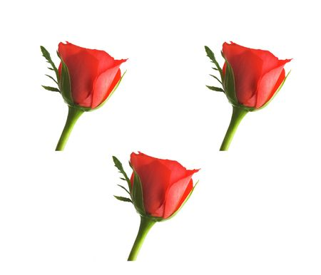 Photo of , red rose Stock Photo - 750708