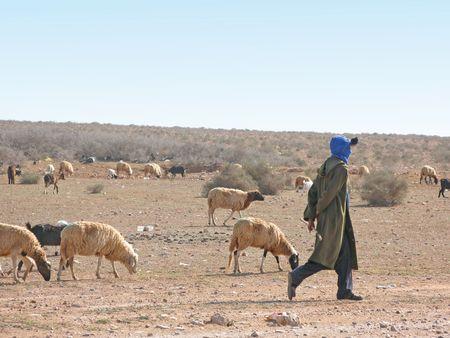 muster: Sheep in Morocco, stone desert