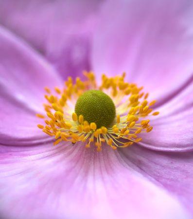 Close-up photo of a pink garden flower photo