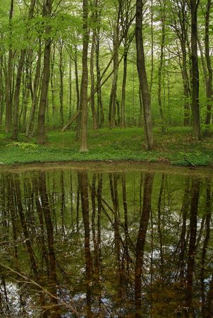 beechwood: Spring forest Stock Photo