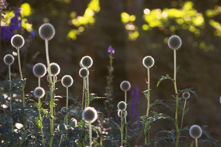 Round flower in Danish garden photo