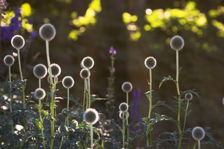 globular: Round flower in Danish garden
