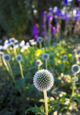 globular: Round flower in Danish garden