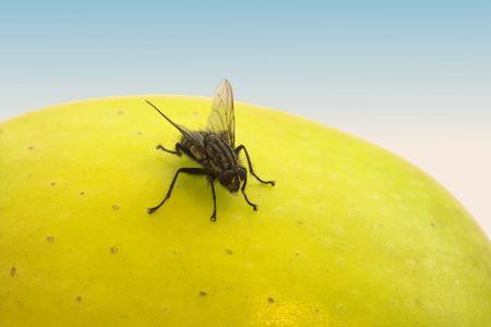 Fly on apple photo