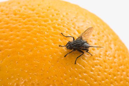 exasperation: Fly on orange Stock Photo
