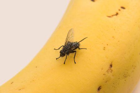 Banana fly photo