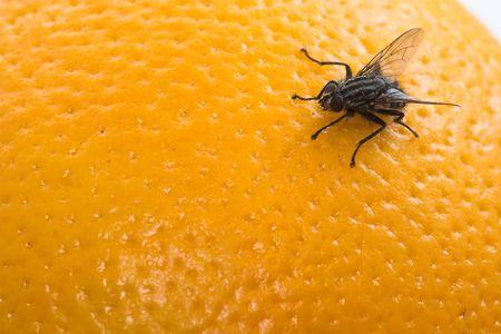exasperation: Orange fly
