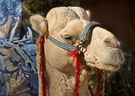 Camel in Morocco - desert area photo