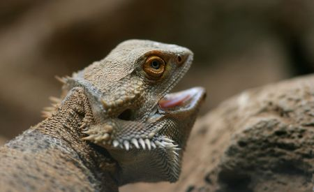 desert lizard: Photo of desert lizard - night animal