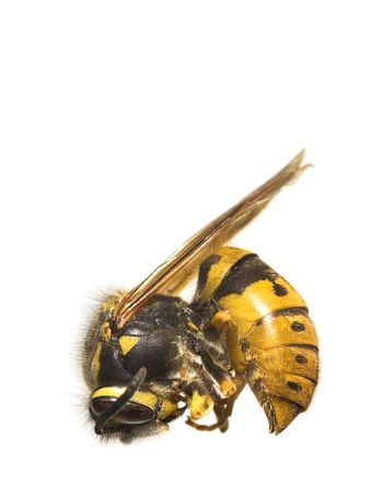 A macro photo (very detailed) of a bee (on white background) Stock Photo - 956197